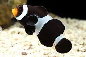 Comprar Peixe Ornamental Aqu�rio Marinho - Black Ocellaris Clownfish m�dio