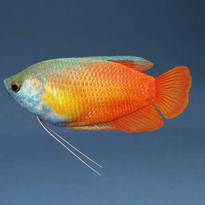 Comprar Peixe Ornamental Colisa Vermelha