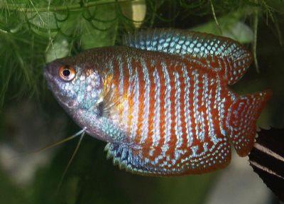 Comprar Peixe Ornamental Aqu�rio �gua Doce Colisa L�lia