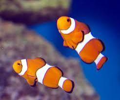 Comprar Peixe Ornamental Aqu�rio Marinho - Ocellaris Clownfish (Amphiprion Ocellaris)med