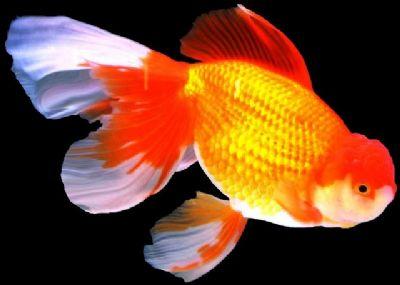 Comprar Peixe Ornamental Aqu�rio �gua Doce - Kinguio Oranda Grande