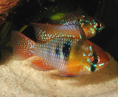 Comprar Peixe Ornamental Aqu�rio �gua Doce - Ramirezi Azul