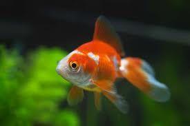 Comprar Peixe Ornamental Aqu�rio �gua Doce - Japon�s WR (Branco e Vermelho) M�dio