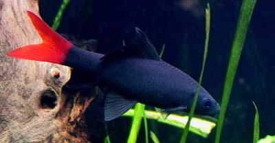 Comprar Peixe Ornamental Aqu�rio �gua Doce - Labeo Bicolor