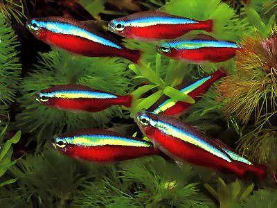 Comprar Peixe Ornamental Aqu�rio �gua Doce - Neon Cardinal (Paracheirodon axelrodi)10 unidades