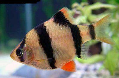 Comprar Peixe Ornamental Aqu�rio �gua Doce - Barbo Sumatra