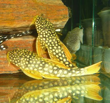 Comprar Peixe Ornamental Aqu�rio �gua Doce - Cascudo Picota de Ouro(L014)