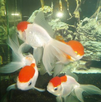 Comprar Peixe Ornamental Aqu�rio �gua Doce - Oranda Red Cap - Grande