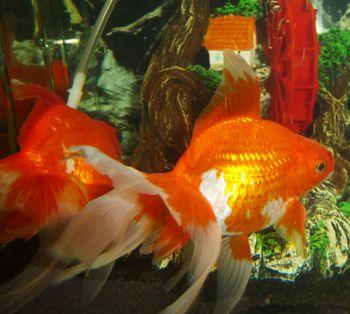 Comprar Peixe Ornamental Aqu�rio �gua Doce - Japon�s GRANDE