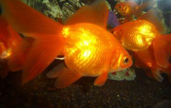 Comprar Peixe Ornamental Aqu�rio �gua Doce - Japon�s Peq