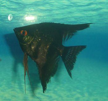 Comprar Peixe Ornamental Aqu�rio �gua Doce - Acar� Negro