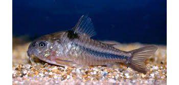 Comprar Peixe Ornamentals de �gua Doce - Corydora Nattereri