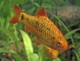 Comprar Peixe Ornamental Aqu�rio �gua Doce - Barbo Ouro