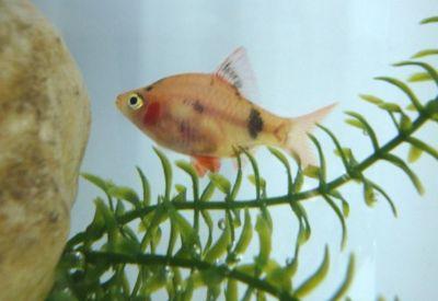 Comprar Peixe Ornamental Aqu�rio �gua Doce - Barbo Sumatra Vermelho