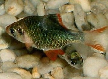 Comprar Peixe Ornamental Aqu�rio �gua Doce - Barbo Sumatra Verde