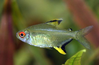 Comprar Peixe Ornamental Aqu�rio �gua Doce - Tetra Lim�o
