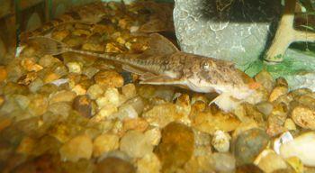 Comprar Peixe Ornamental Aqu�rio �gua Doce - Rineloricaria