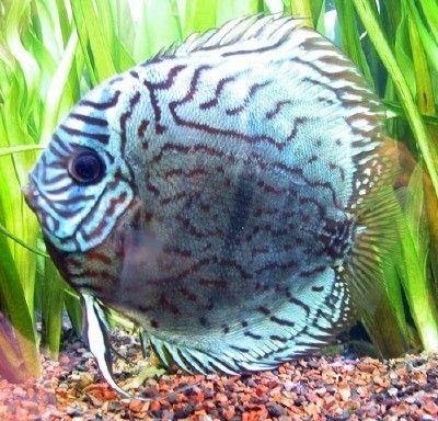 Comprar Peixe Ornamental Aqu�rio �gua Doce - Acar� Disco Blue Turquesa Grande (10 a 12cm)