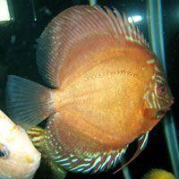 Comprar Peixe Ornamental Aqu�rio �gua Doce - Acar� Disco Brown Grande, adulto (10 a 12cm)