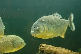 Comprar Peixe Ornamental Aqu�rio �gua Doce - Piranha Amarela