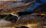 Comprar Peixe Ornamental Aqu�rio �gua Doce - Corydora Haraldshultzi