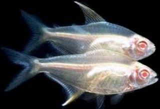 Comprar Peixe Ornamental Aqu�rio �gua Doce - Tetra Lim�o Albino