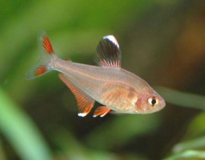 Comprar Peixe Ornamental Aqu�rio �gua Doce - Tetra Bentosi