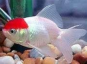 Comprar Peixe Ornamental Aqu�rio �gua Doce - Japon�s Red Cap M�dio
