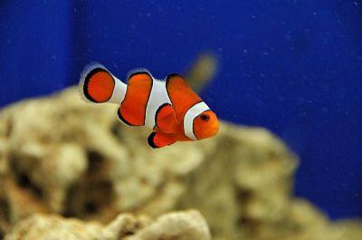 Comprar Peixe Ornamental Aqu�rio Marinho - Ocellaris Pequeno