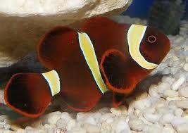 Comprar Peixe Ornamental Aqu�rio Marinho - Ocellaris MAROON pequeno