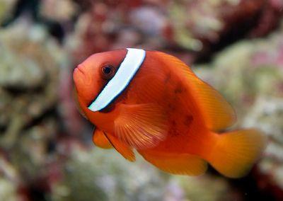 Comprar Peixe Ornamental Aqu�rio Marinho - Tomato Clownfish Pequeno (Tomato Clownfish)3 a 4,5 cm