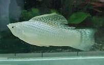 Comprar Peixe Ornamental Aqu�rio �gua Doce - Molinesia Prata