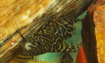 Comprar Peixe Ornamental Aqu�rio �gua Doce - Synodontis Gato Invertido Med