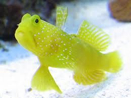 Comprar Peixe Ornamental Aqu�rio Marinho - Watchman Yellow med