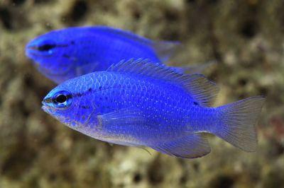 Comprar Peixe Ornamental Aqu�rio Marinho -  Blue Devil Damsel