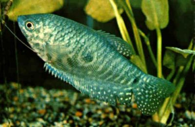 Comprar Peixe Ornamental Aqu�rio �gua Doce - Tricogaster Azul Marmorato