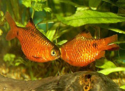 Comprar Peixe Ornamental Aqu�rio �gua Doce - Barbo Rosado