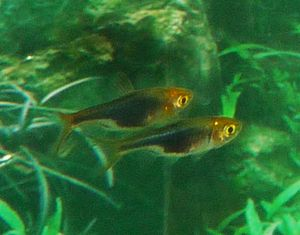 Comprar Rasbora Harlequim Golden Head