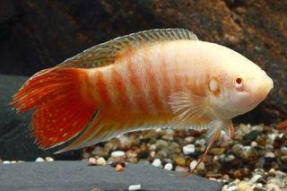 Comprar Peixe Ornamental Aqu�rio �gua Doce - Para�so Albino