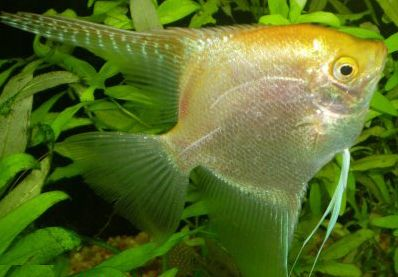 Comprar Peixe Ornamental �gua Doce - Acar� Ouro Peq