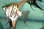 Comprar Peixe Ornamental �gua Doce - Acar� Bandeira Leopardo Peq