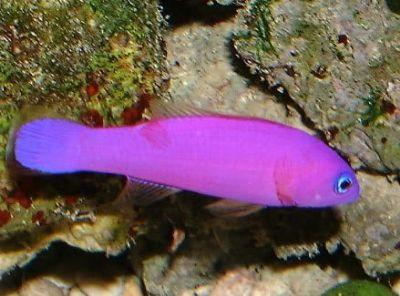 Comprar Peixe Ornamental Marinho - Purple Dottyback (Pseudochromis Porphyreus)