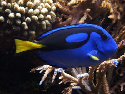 Comprar Peixe Ornamental Marinho - Hepatus Blue Tang (Paracanthurus Hepatus)