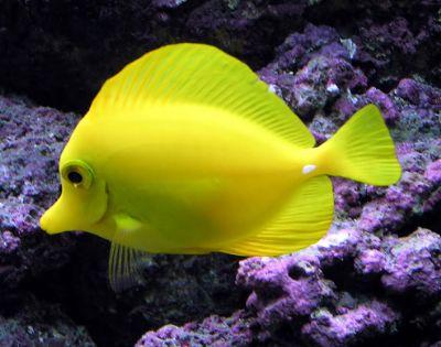 Comprar Peixe Ornamental Aqu�rio Marinho - Yellow Tang Gr(Zebrassoma Flavescens)