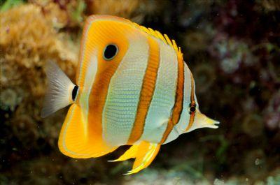 Comprar Peixe Ornamental Aqu�rio Marinho - Cooperband Butterflyfish (Chelmon Rostratus)