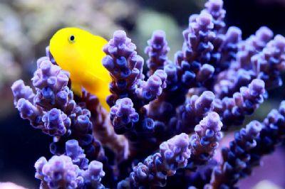 Comprar Peixe Ornamental Aqu�rio Marinho - Yellow CoralGoby (Gobiodon okinawae)
