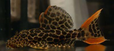 Comprar Peixe Ornamental Aqu�rio �gua Doce - Cascudo Leopardus peq(L114)