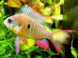 Comprar Peixe Ornamental Aqu�rio �gua Doce - Papilocromis