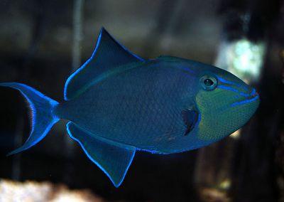 Comprar Peixe Ornamental Aqu�rio Marinho - Odonus Niger Triggerfish