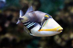 Comprar Peixe Ornamental Aqu�rio Marinho - Picasso Triggerfish